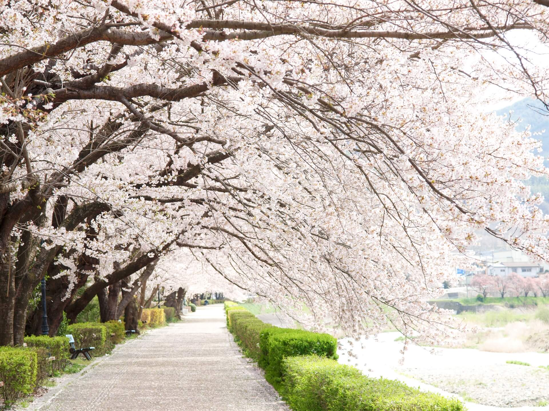 Your 2019 Cherry Blossom Viewing Guide