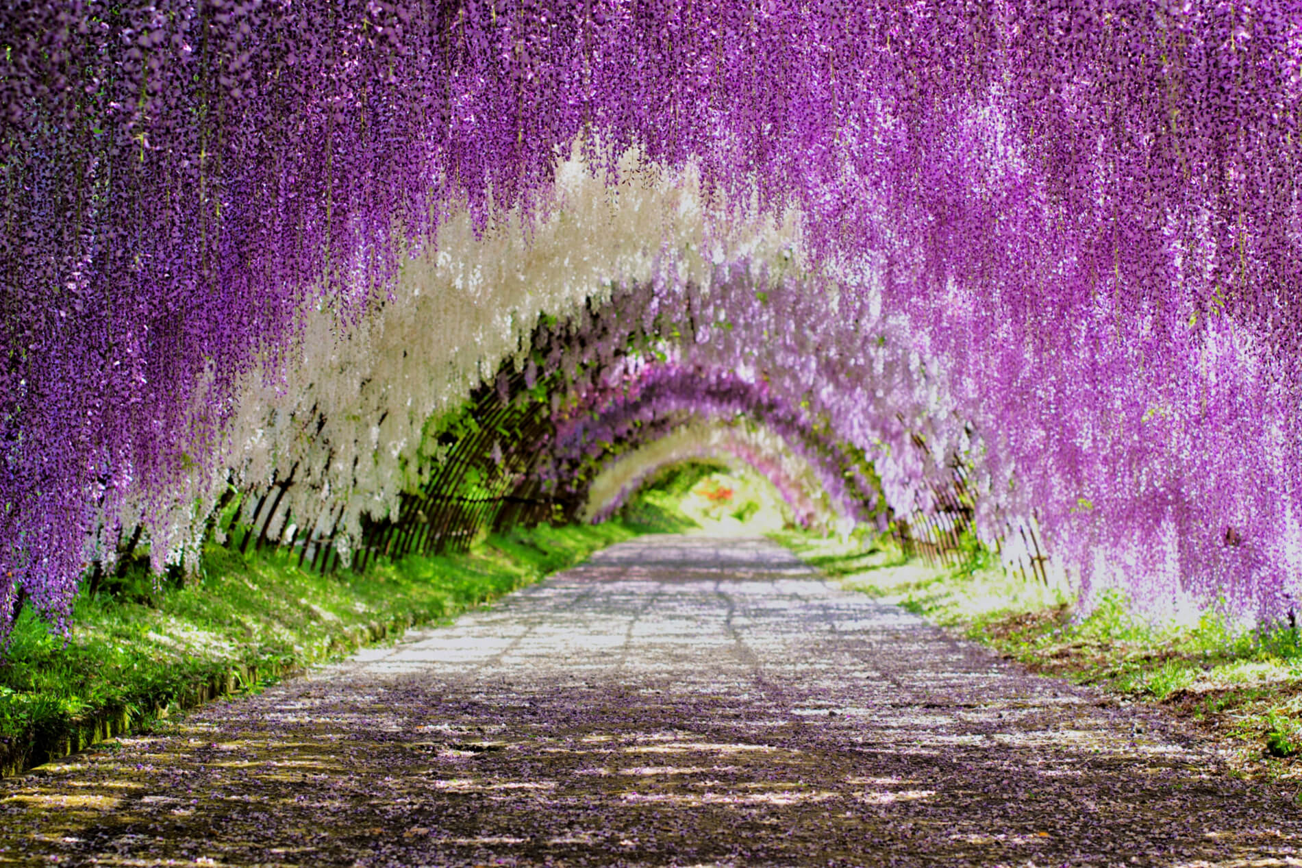 Japan S Top 10 Wisteria Viewing Spots