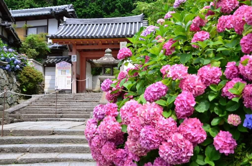 Yatadera Nara Hydrangea