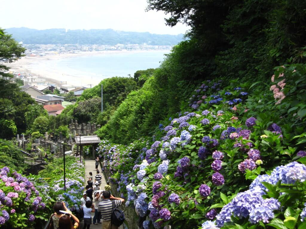 Hydrangea Kamakura Hasedera Shrine