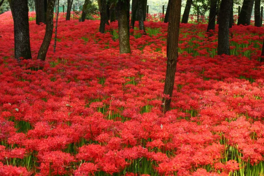 Japan autumnal equinox flower